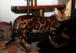 Mating with a Bengal cat